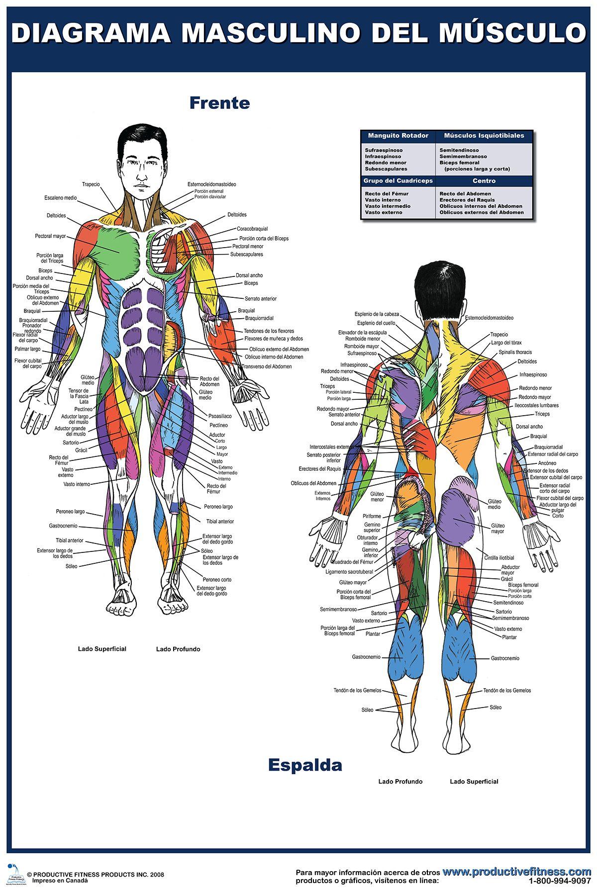 Diagrama masculino del musculo | Carteles de Fitness | Pinterest ...