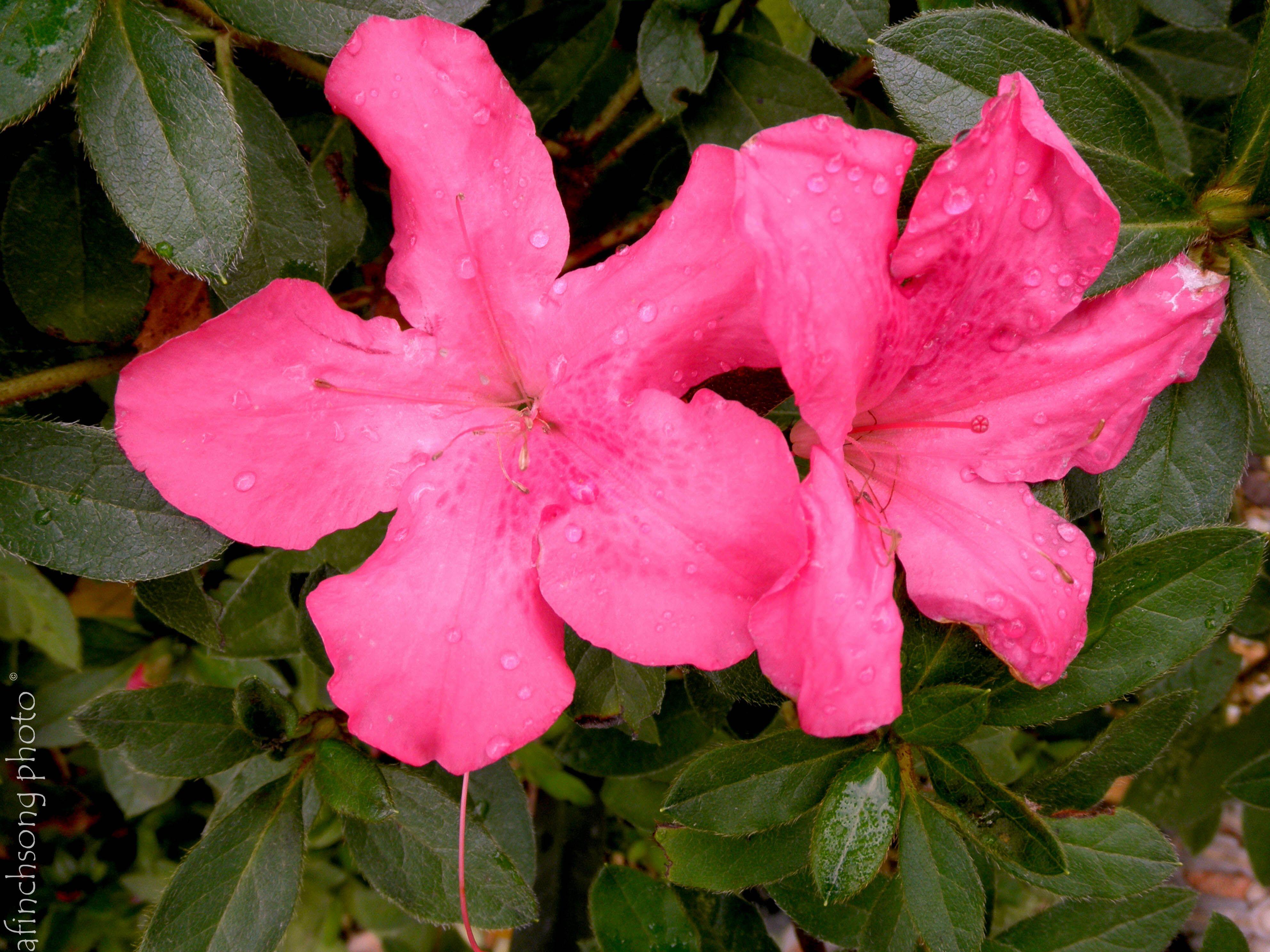 Azalea X Roblee Autumn Sangria Encore Azalea Flowering Evergreen Part To Full Sun 10 Year Size 4 5 Hx4 W Upright Rounded Bloom Neon Pink Single Spring Fa