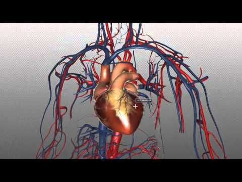 The Heart and Major Vessels - PART 1 - Anatomy Tutorial - YouTube ...