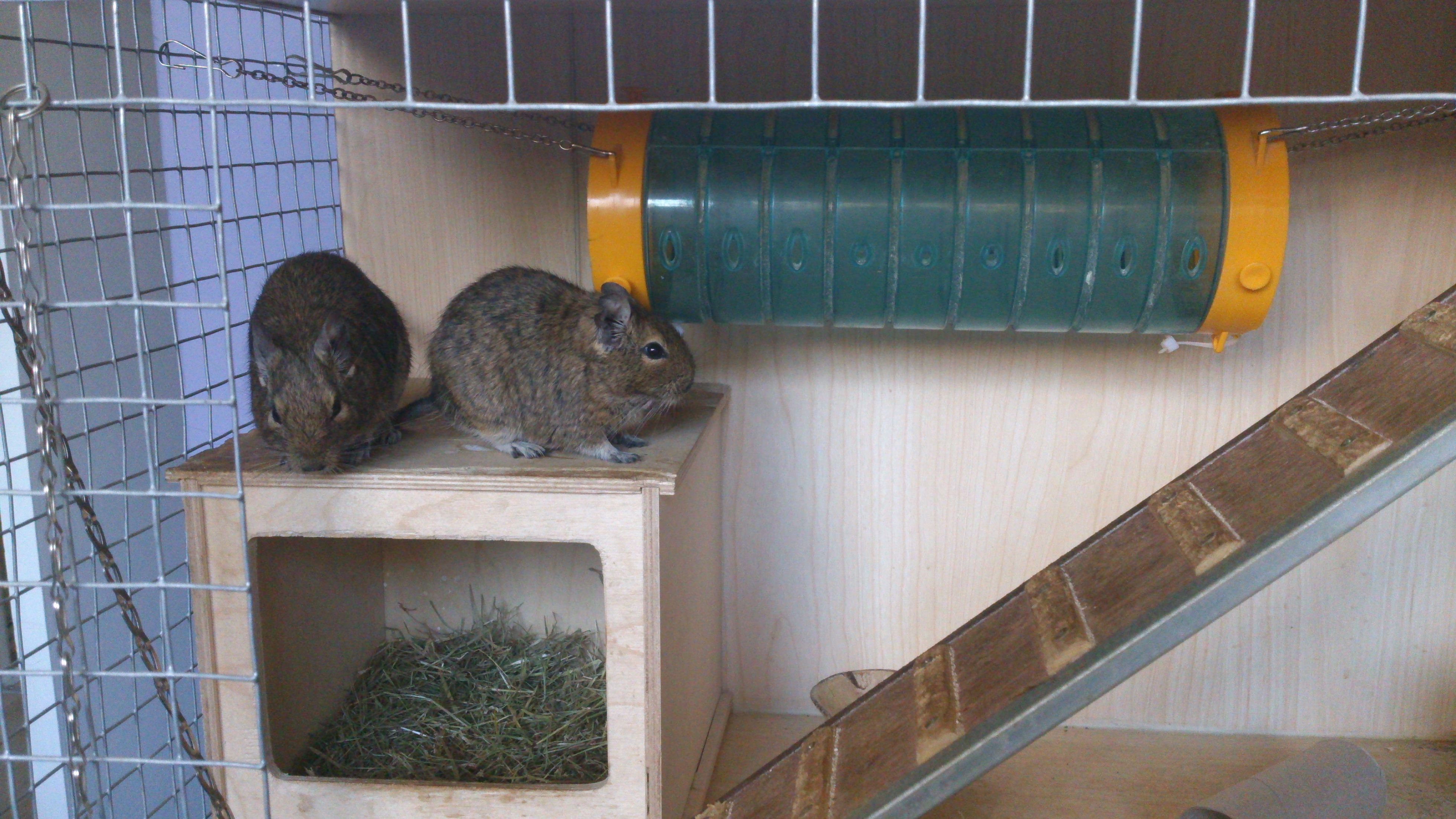 Degu brothers on their house