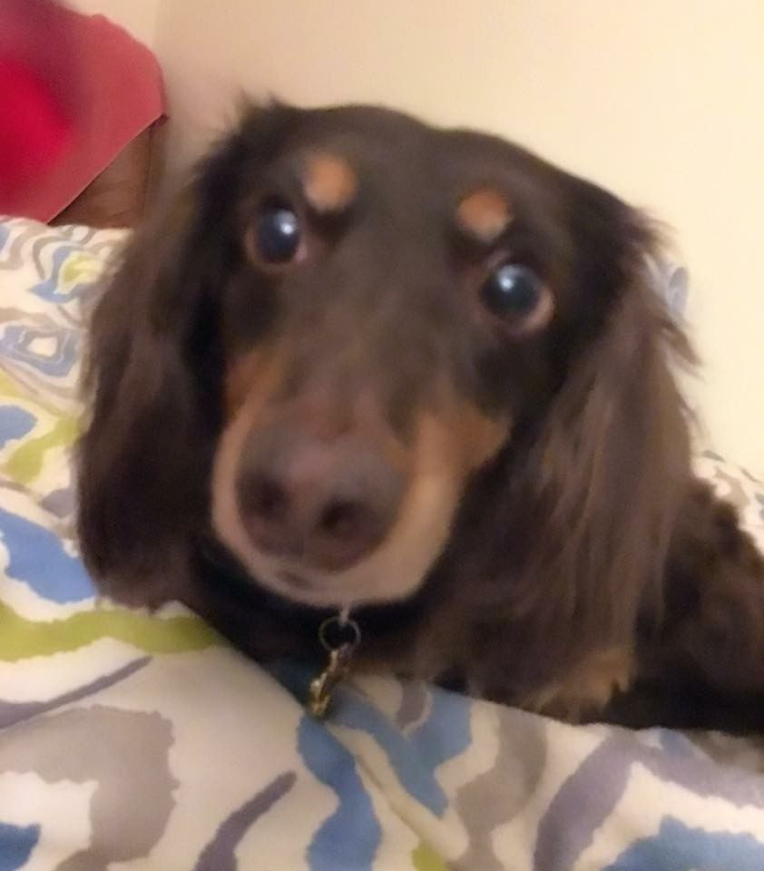 Is There A Dog In Your Phone Weenie Dogs Dogs Dachshund