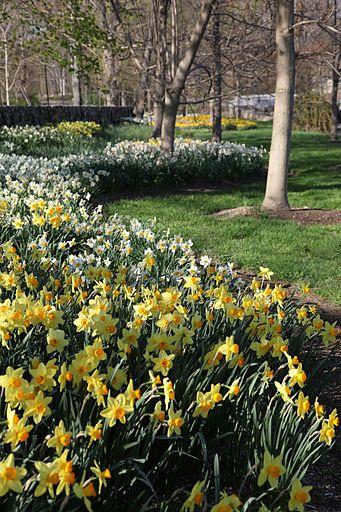 Daffodil Mass Planting Daffodils Garden Bulbs Garden Club