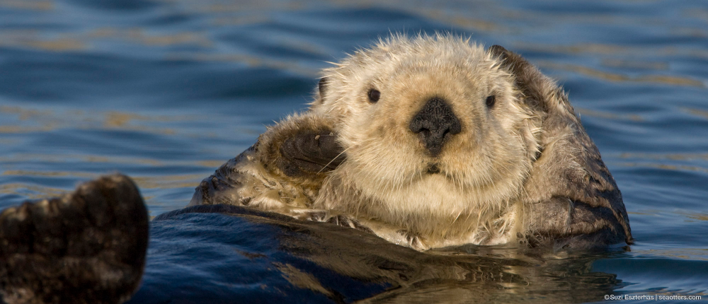 Sea Otter Facts (With images) Sea otter