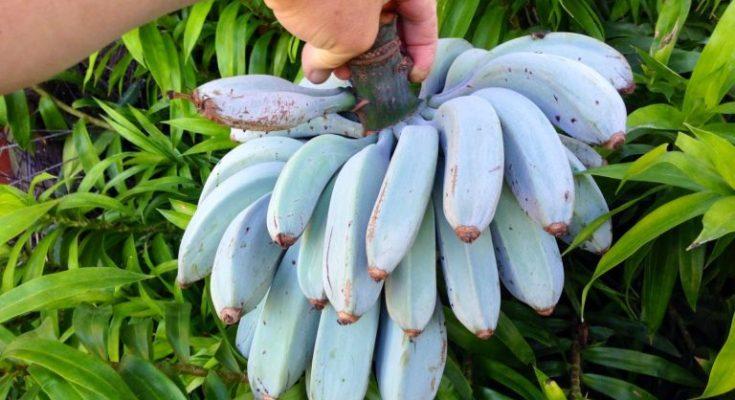 Blue Java Banana The Banana That Tastes Just Like Vanilla Ice Cream Vanilla Ice Cream Banana Banana Ice Cream