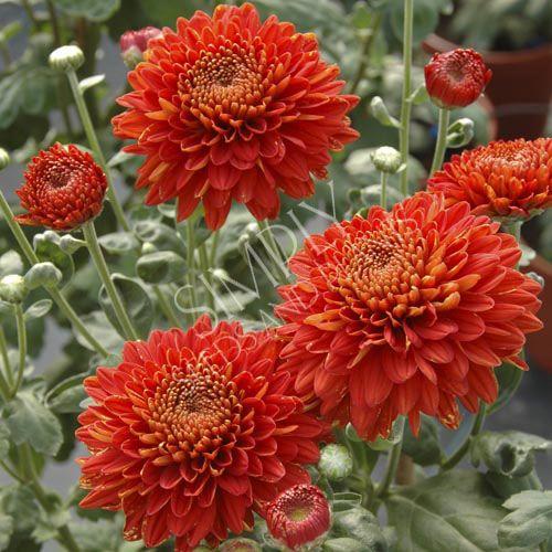 Chrysanthemum Red Wendy Flower Farm Chrysanthemum Flower Chrysanthemum