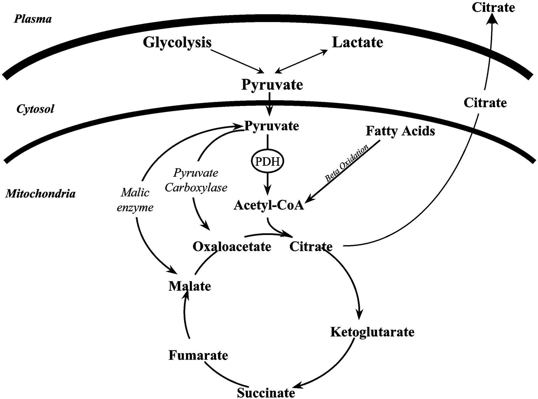 Glycogenesis Glycogenolysis And Gluconeogenesis Anything