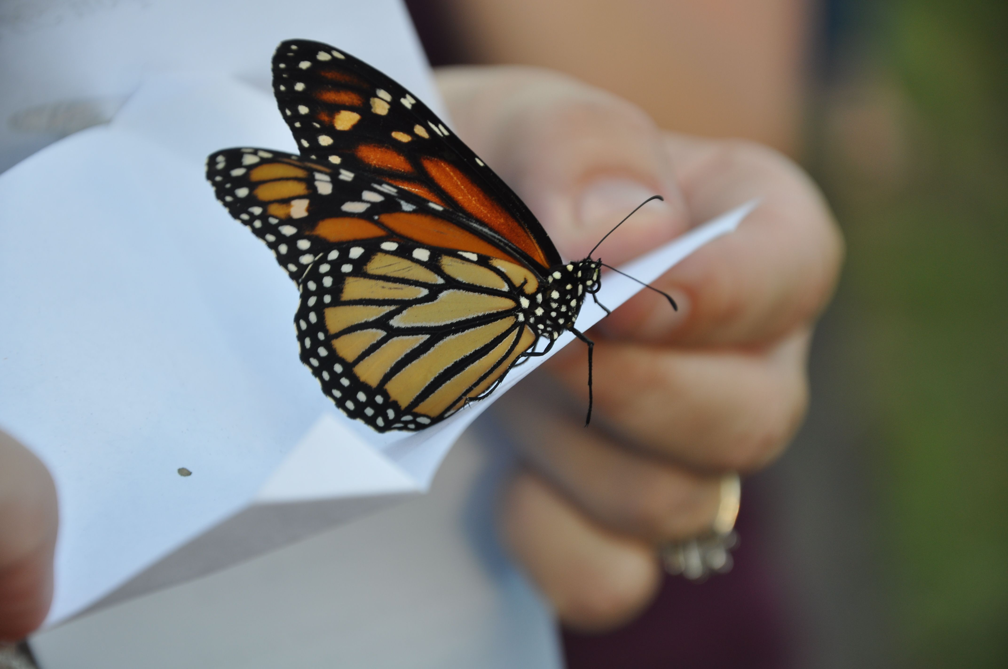 These are the butterflies that can be released in Kentucky