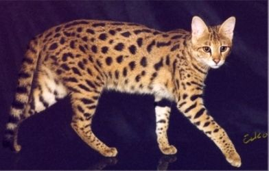 F3 Savannah cat | Savannah cats | Savannah cat breeders, F3