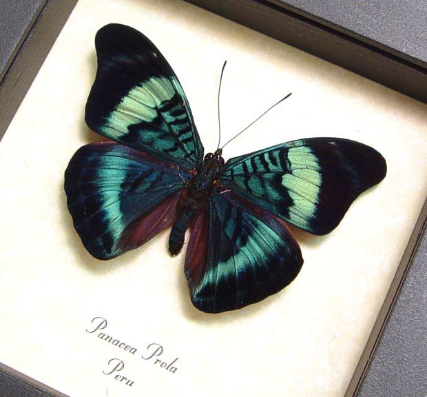 Metallic Blue Swirls Panacea Prola Real Framed Butterfly Insect ...