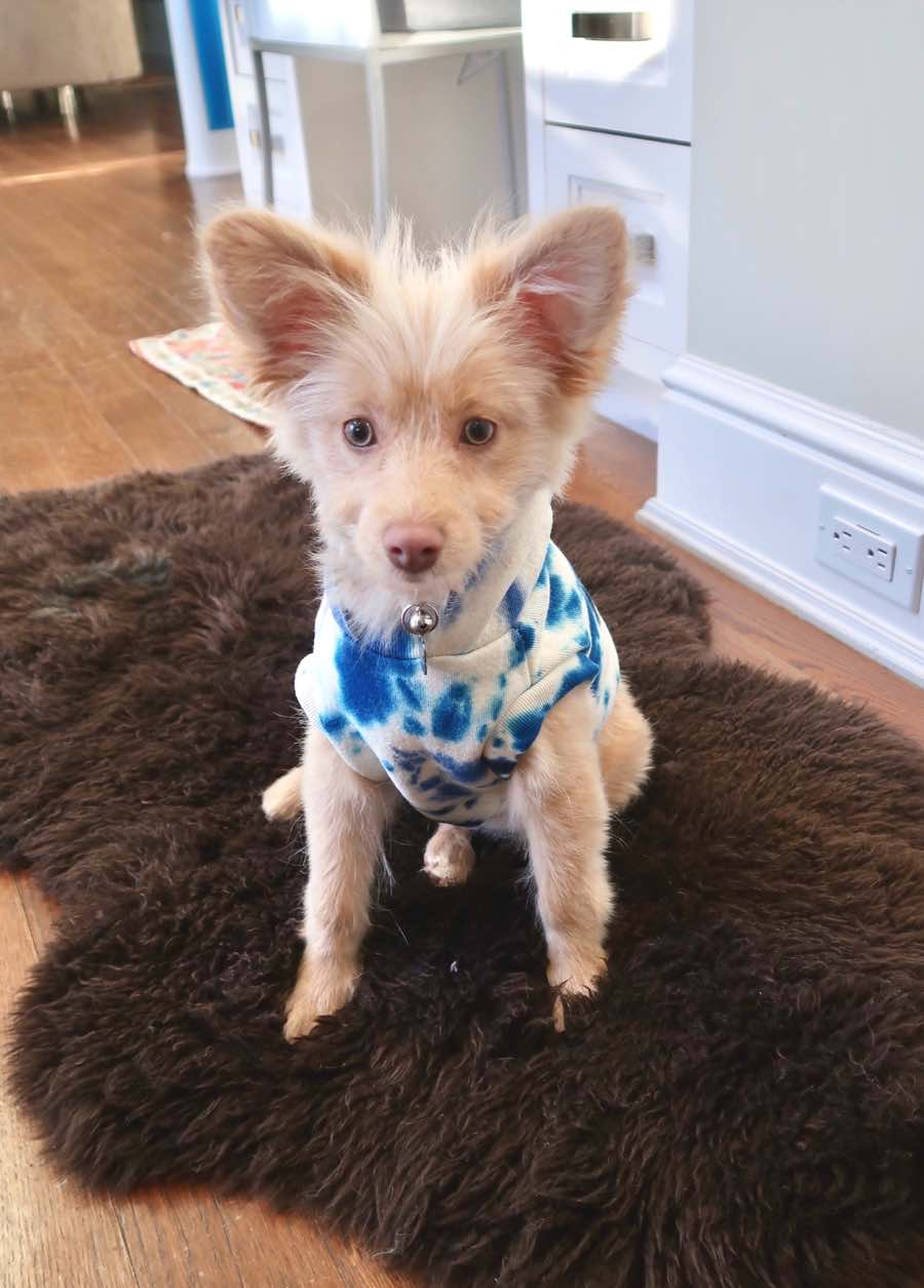 Zeus The Pomeranian Toy Poodle Mix Dogperday Cute Puppy Pictures Dog Photos Cute Videos Holistic Pet Care In 2020 Poodle Mix Cute Puppy Pictures Puppy Pictures