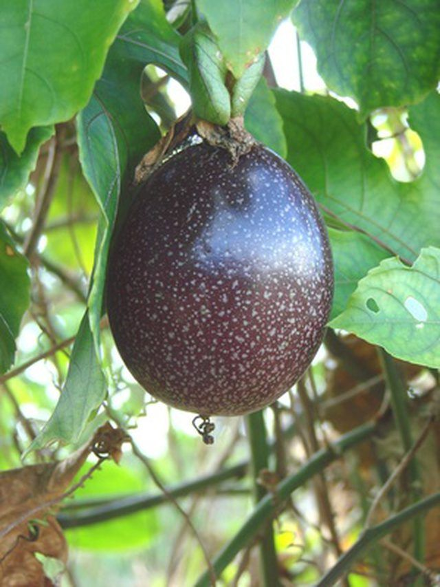 How To Plant Passion Fruit Hunker Passion Fruit Plant Growing Passion Fruit Fruit Garden