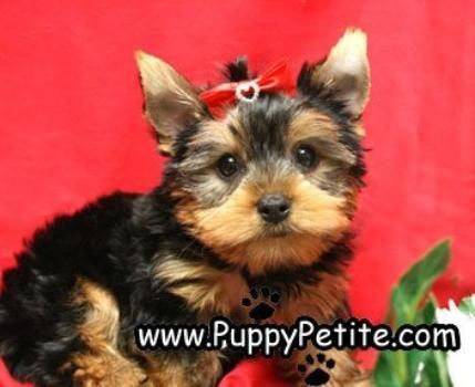 Puppy Petite Puppies For Sale Dogs101 Pinterest Yorkies Shih