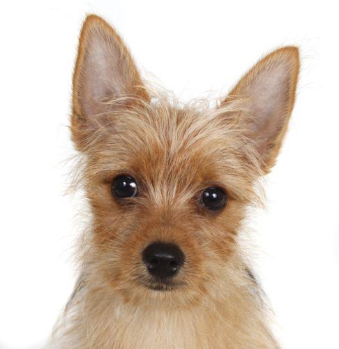 Adopt Lenny On Yorkie Pomeranian Mix Yorkie Dogs Pomeranian Mix