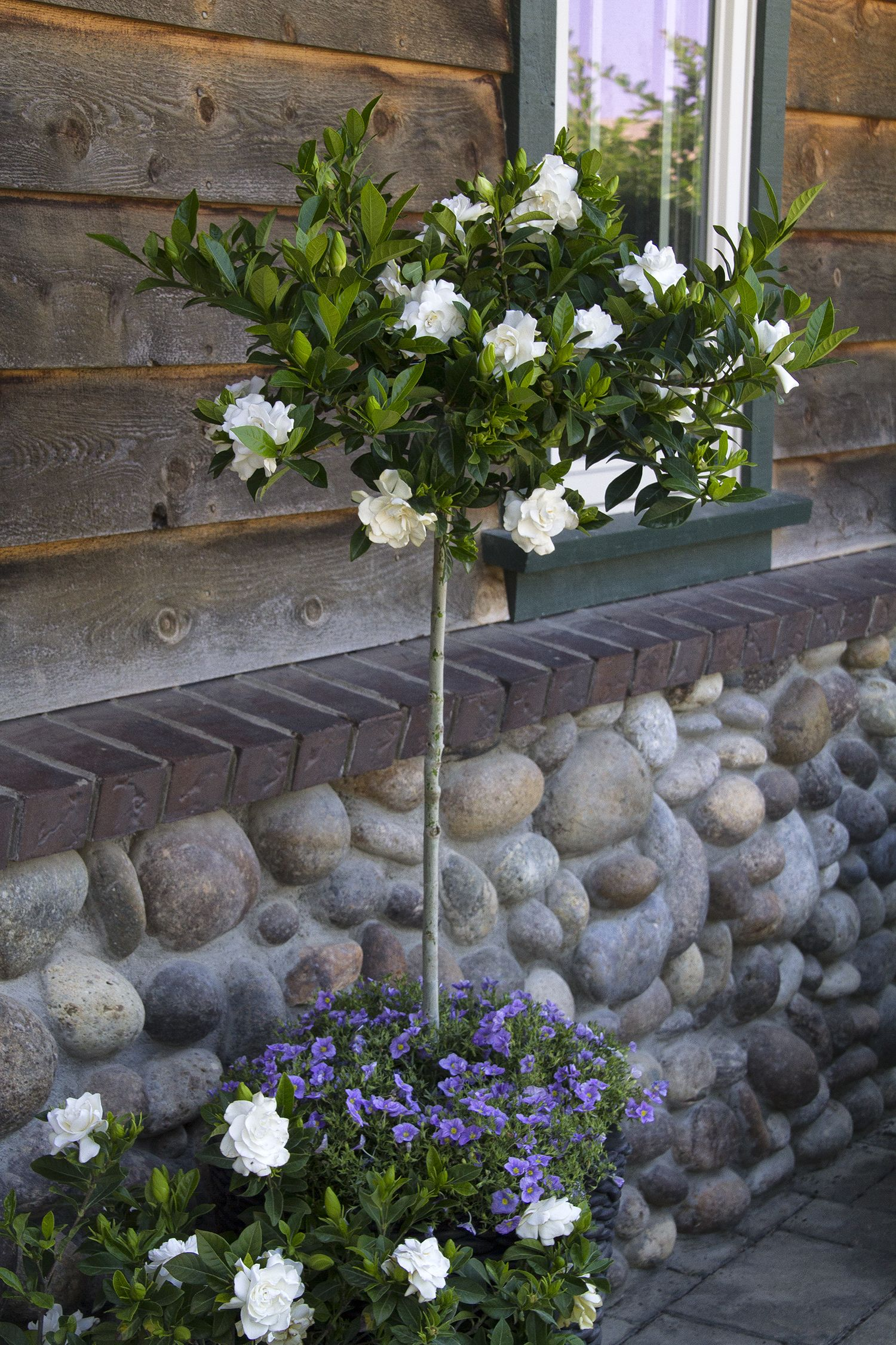 Everblooming Gardenia Grafted Gardenia Shrub