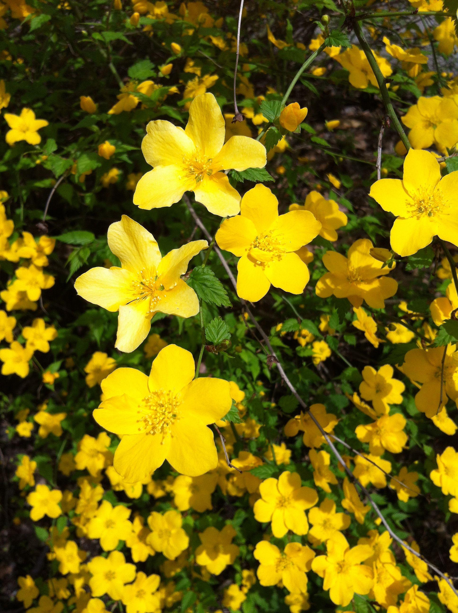 Yellow Flowering Shrub Pittsburgh Pa Flowers Pinterest