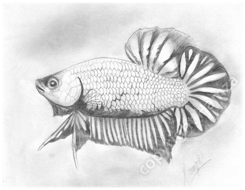 Betta Fish Drawing Google Search Fish Coloring Page Betta Fish Fish Drawings