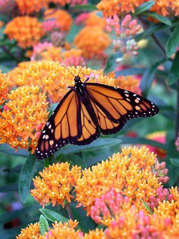 Image result for monarch butterfly on orange milkweed Pinterest