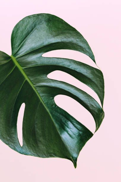 Monstera Deliciosa The Hurricane Or Swiss Cheese Plant Big Palm Leaf On Pink Background Leaf Photography Palm Plant Plant Wallpaper