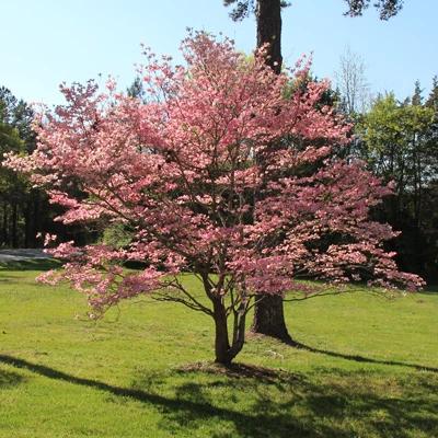 Pink Dogwood Tree Pink Dogwood Tree Dogwood Trees Small Ornamental Trees