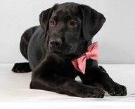 Cute Lab Labrador Retriever I Love Dogs Purebred Dogs
