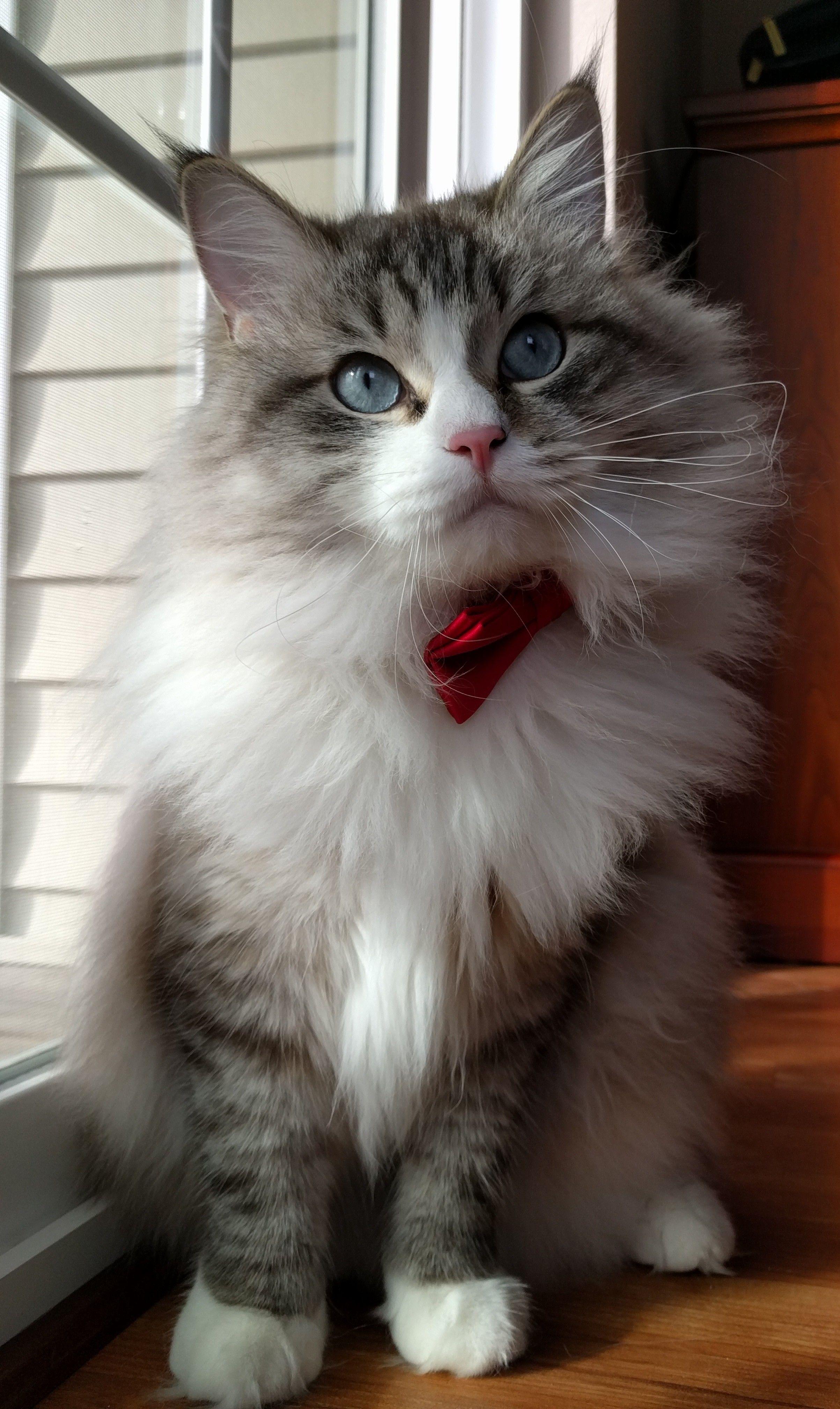 My handsome floof http//ift.tt/2dX1FGy Munchkin cat