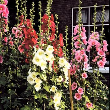 Althaea rosea mix hollyhocks 3 plantes achetez en ligne for Commander plantes internet