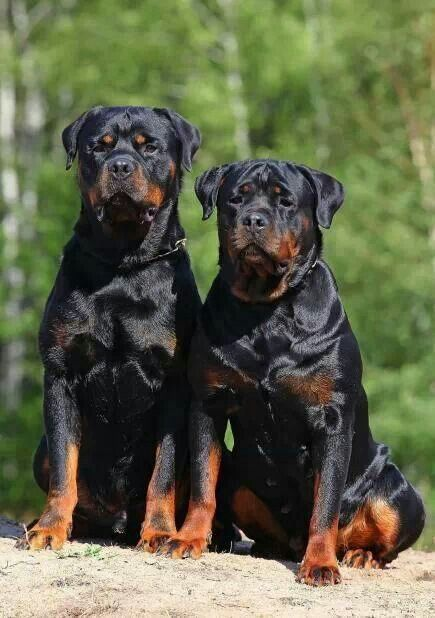Rottie S Such Beautiful Animals