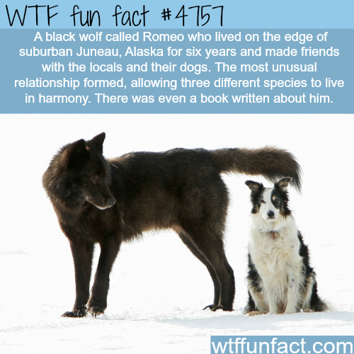 black wolf made friends with a dogs and humans | WTF fun ...