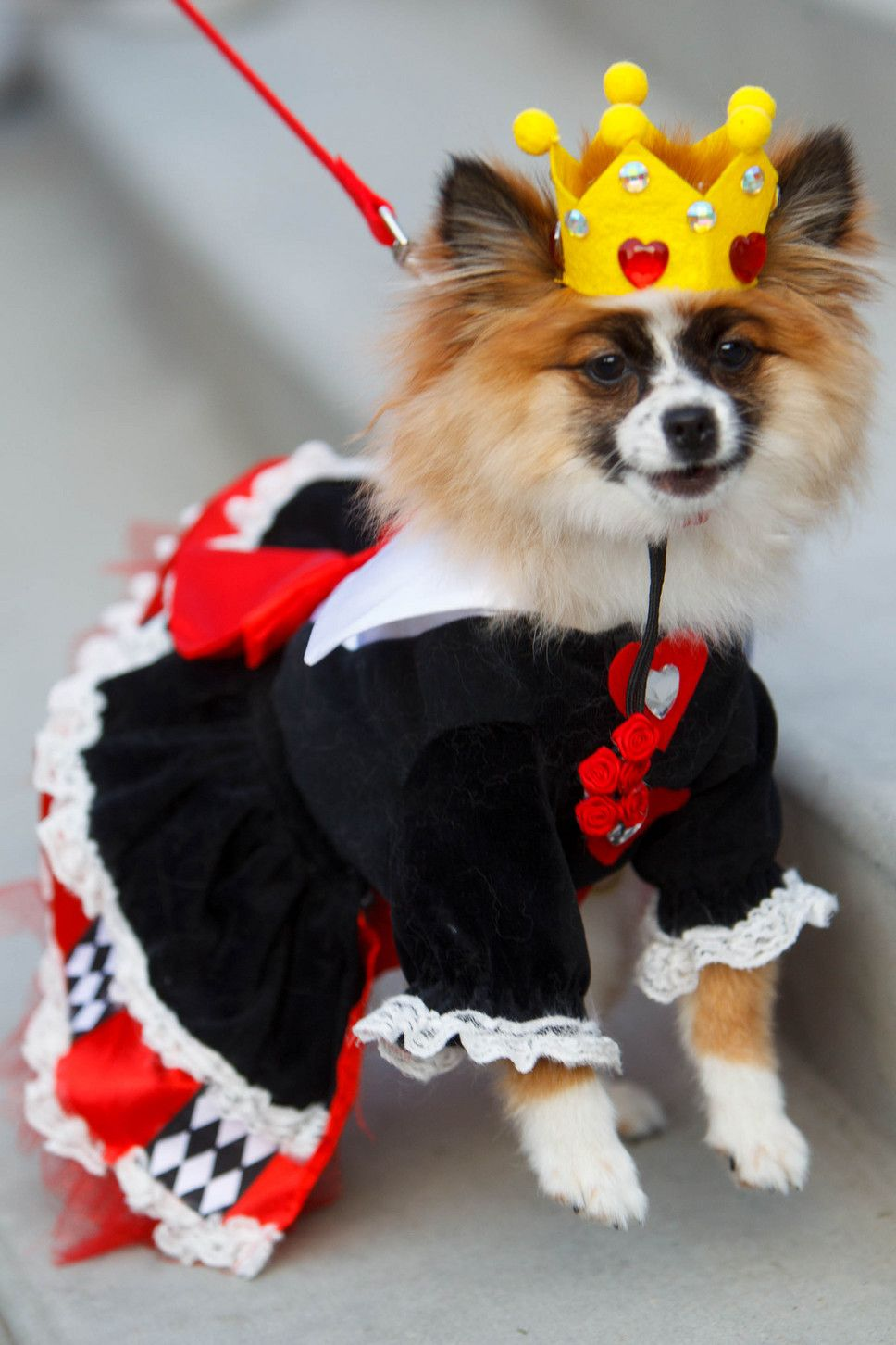 The Queen Of Hearts Dolly At A Pet Costume Contest Hosted By