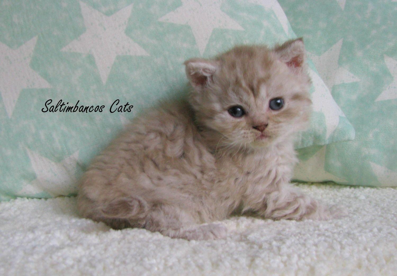 Selkirk Rex Female Cinnamon Silver Tabby Serious Cat Cat Care Tabby Cat