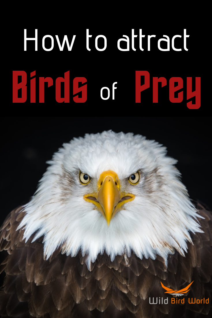 How To Attract Birds Of Prey To Your Yard With Images How To Attract Birds Birds Of Prey Wild Birds