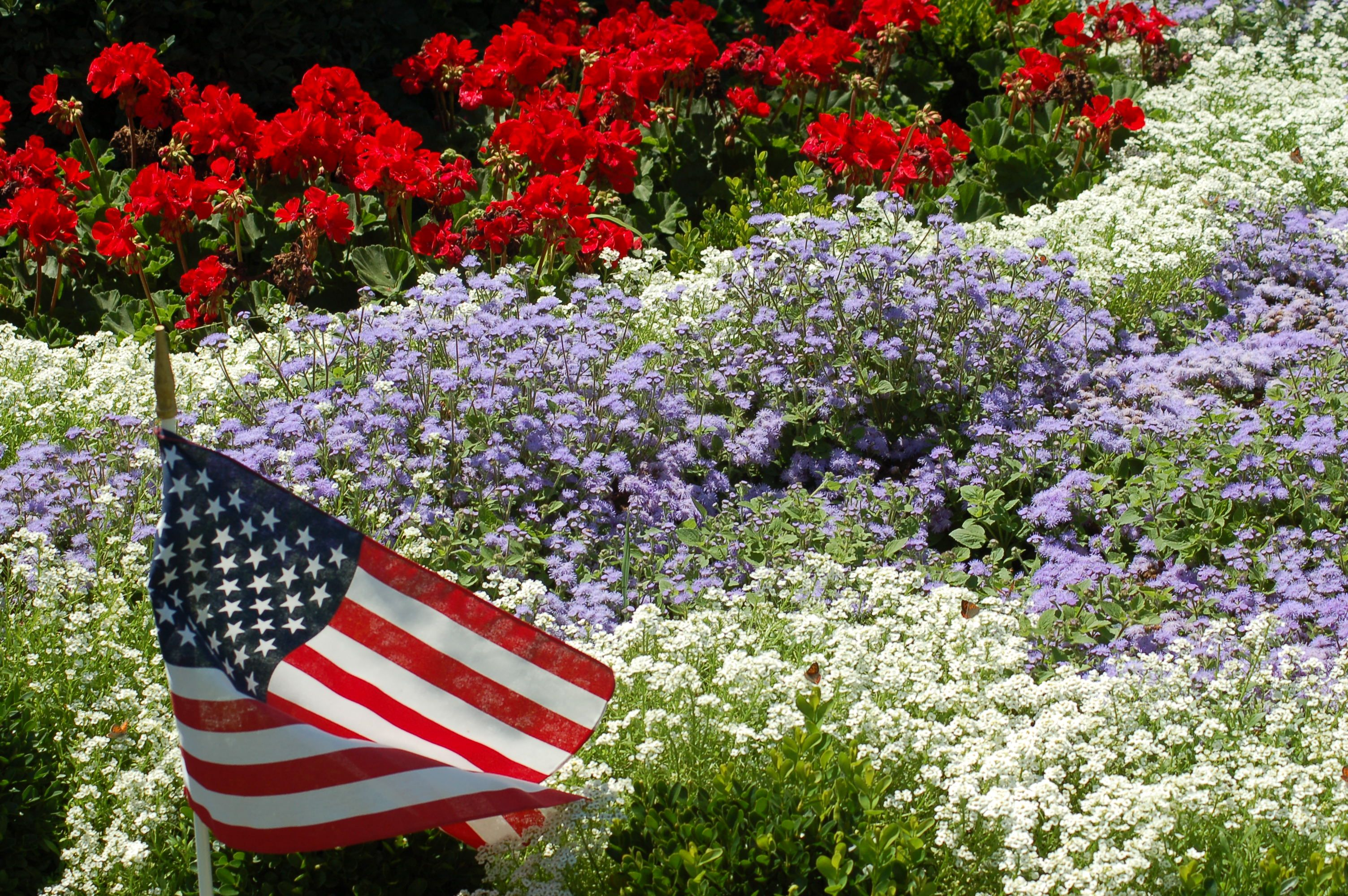 "On July 4th, we Americans should wish each other ""Happy Independence Day!"" rather than ""Happy July 4th!"" Why? Because it's not the date that we're celebrating, but the event: our declaring of independence. This picture shows a patriotic planting of red geraniums, white alyssum, and blue ageratum. Need more ideas for such plantings? See http://landscaping.about.com/od/holidayplants1/tp/red-white-blue-flowers.htm"
