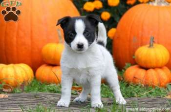 Lory Jack A Ranian Puppy For Sale From Lancaster Pa Puppies Puppies For Sale Jack Russell For Sale