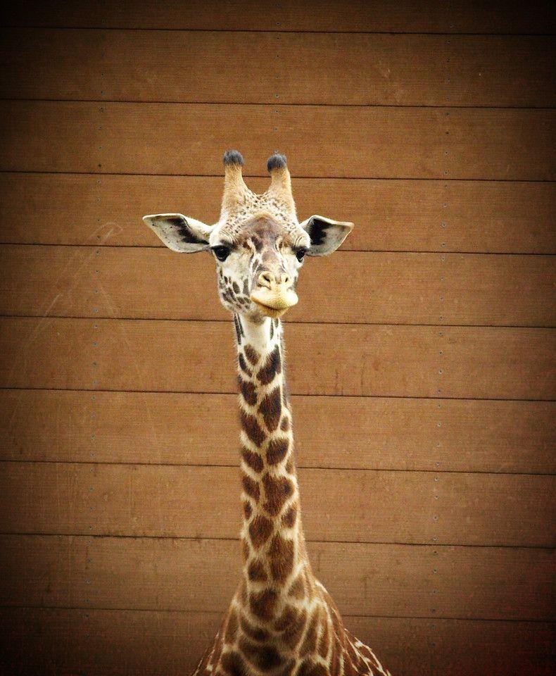 Happy Giraffe - San Diego Zoo