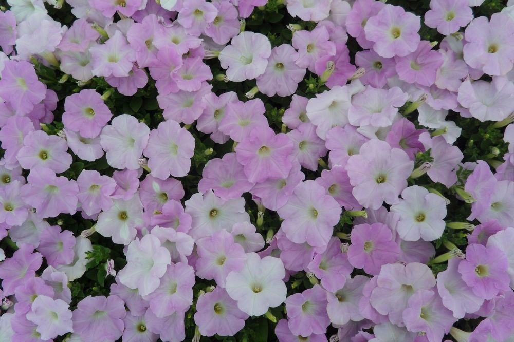 100 Petunia Wave Misty Lilac Live Plants Plugs Garden Home Diy