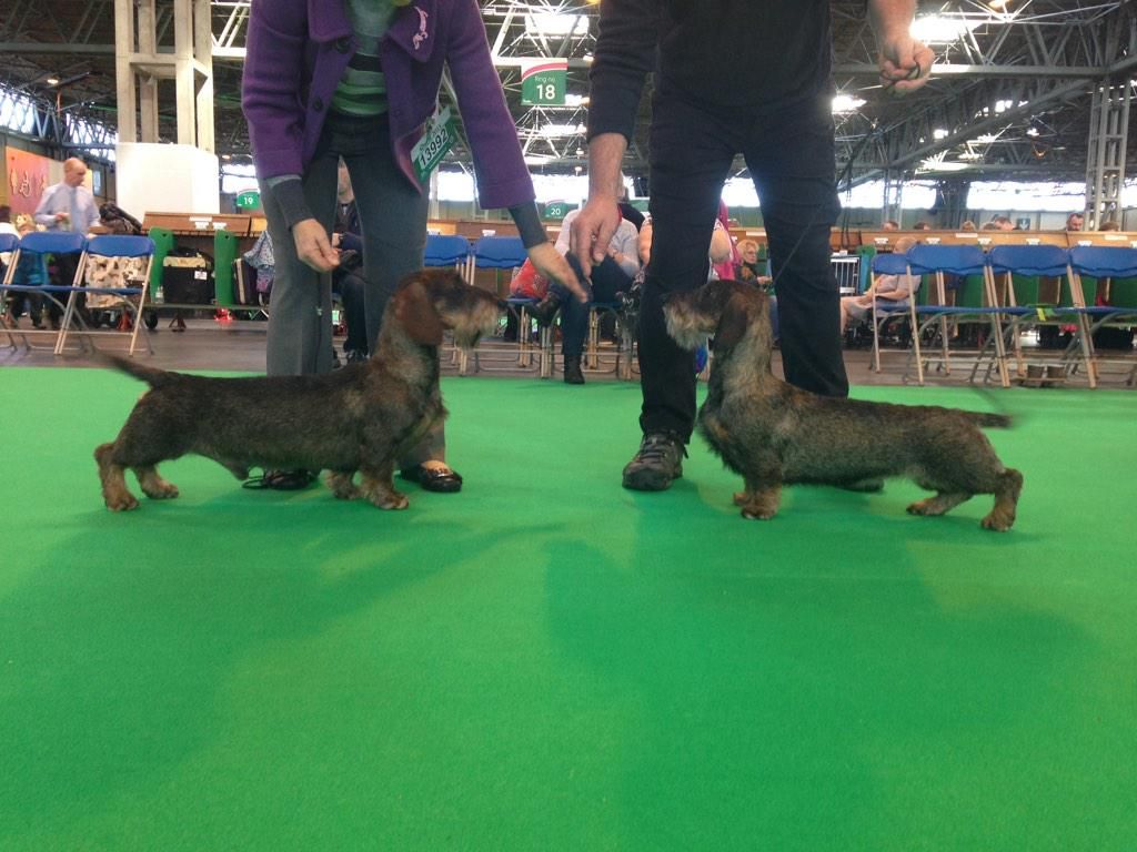 Bob Wire Haired Dachshund Ch Silvae Zealot Kim And Duncan