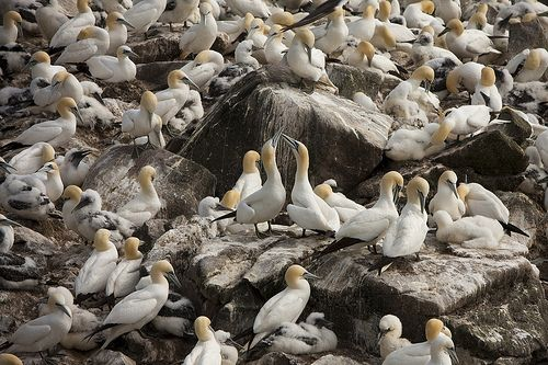 Gannets at Cape St Mary's Ecological Reserve | Flickr - Photo Sharing!