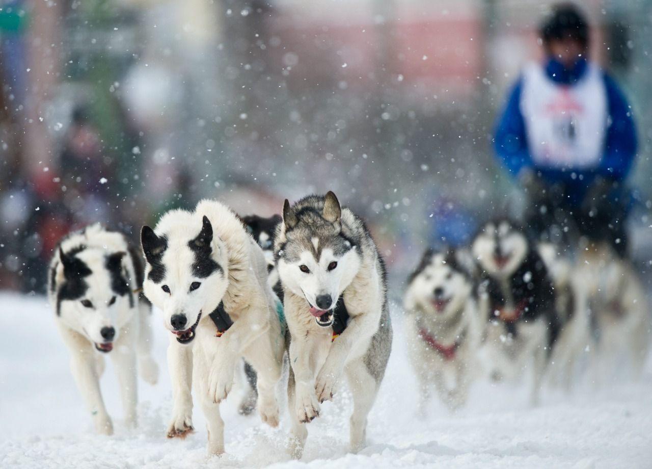 Sled Dogs Dogs Alaskan Husky Malamute Husky Dogs