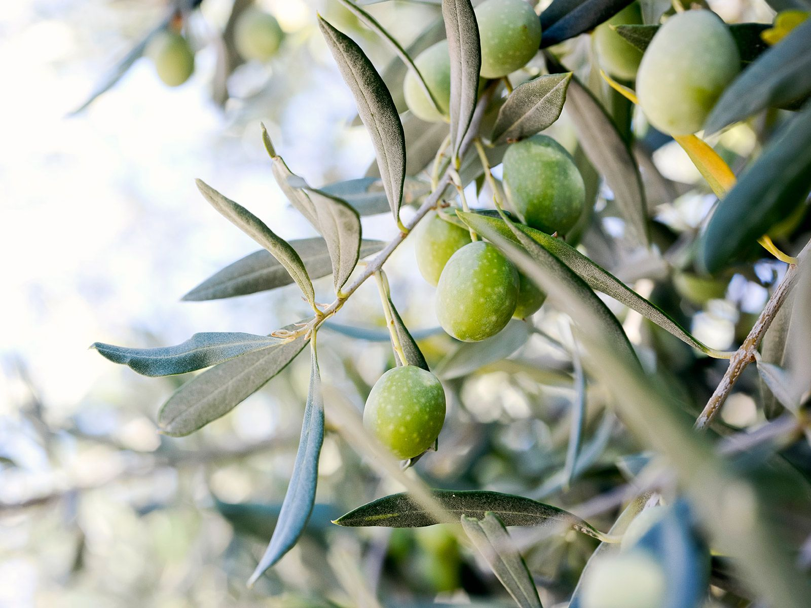 Some of The Best Olive Oil in America Comes From