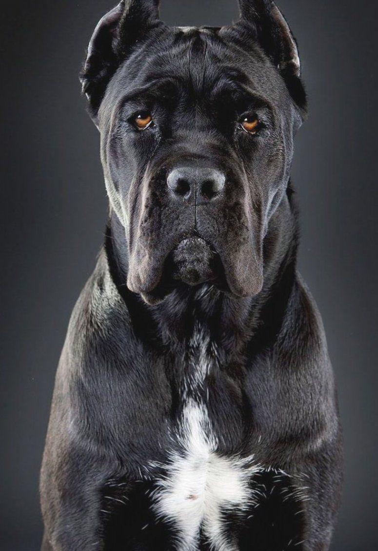 Corso Dog Cane Corso Dog Cane Corso Black Cane Corso Dogs Cane Corso Mastiff Black Cane Corso Cane Corso Dog B Cane Corso Dog Breed Cane Corso Corso Dog