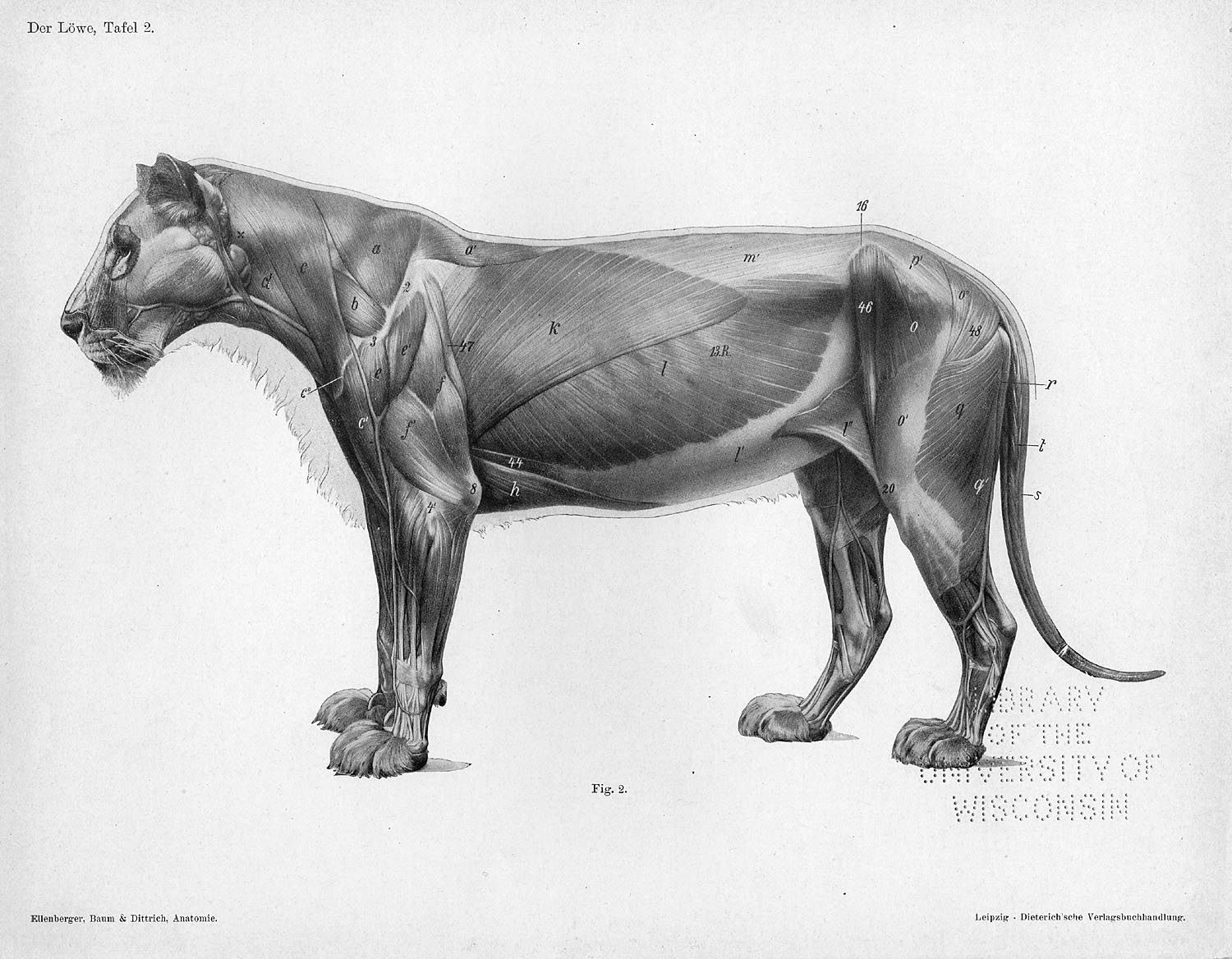 lion muscle side | Creature Anatomy | Pinterest | Lions, Muscles and ...