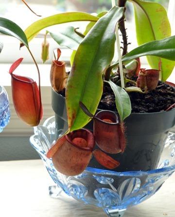 Carnivorous Plant Care Guides Grow Carnivorous Plants