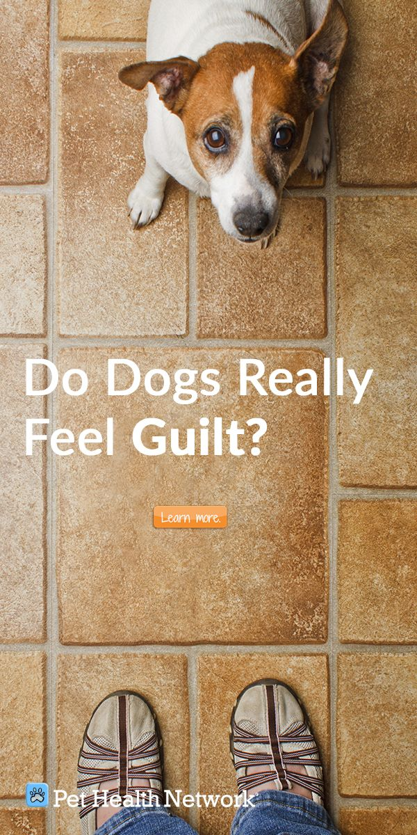Do Dogs Really Feel Guilt Pethealthnetwork Dog Marking