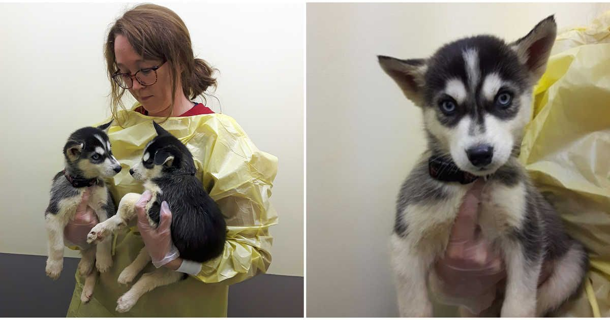 19 Huskies Were Surrendered From One Home In B C You Can Help