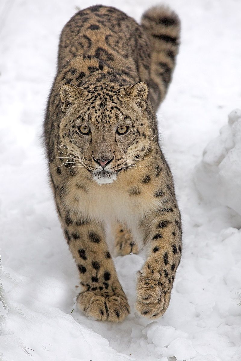 Snow Leopard by Hisham Atallah**or maybe an Amur or Caucasian Leopard?