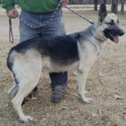 Adopt Clyde On German Shepherd Dogs Shepherd Dog Mix Dogs