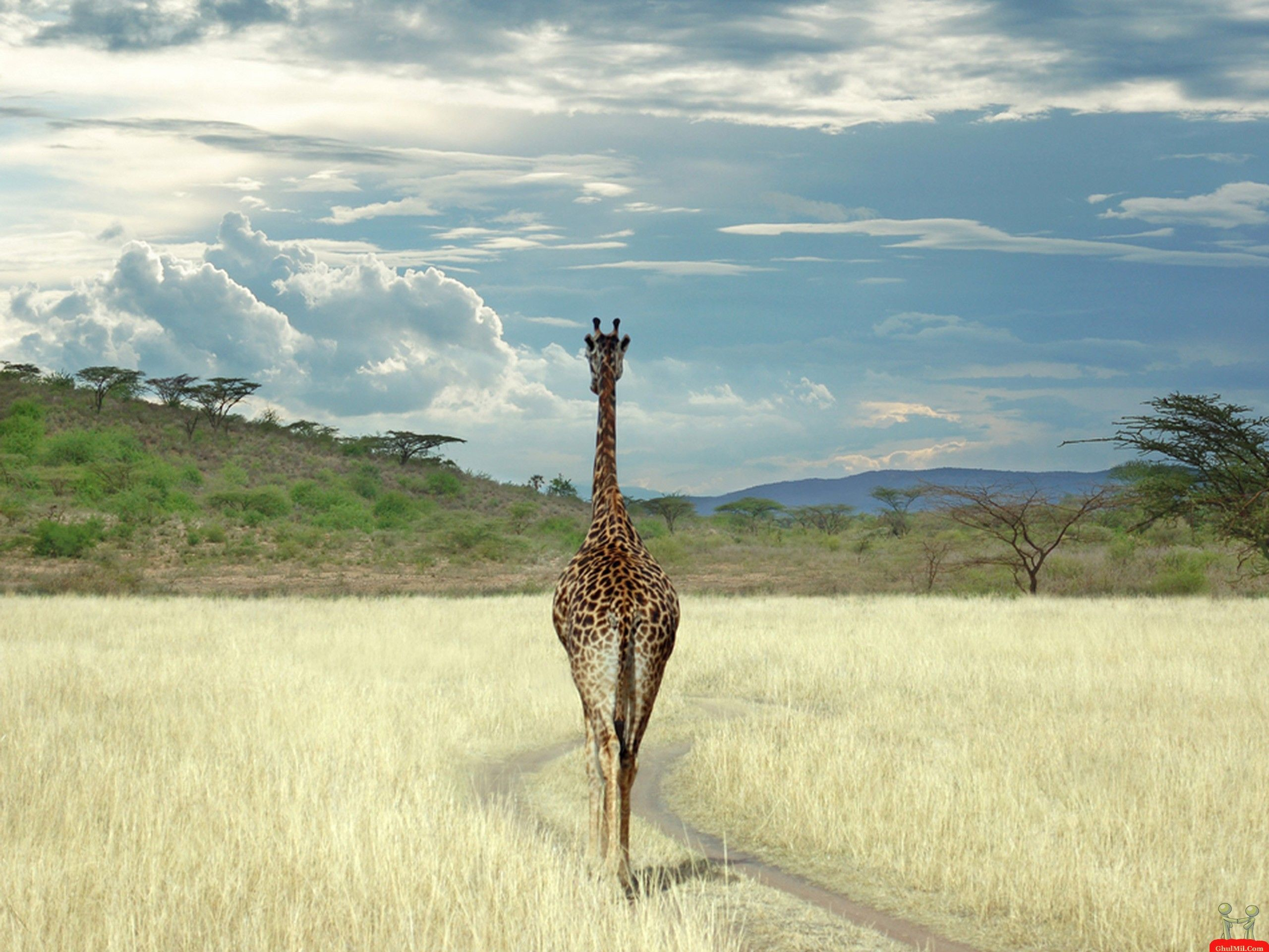 Giraffe In Africa Wild Life HD Wallpaper