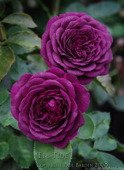 Ebb Tide Rose Photo Beautiful Rose Flowers Rose Garden Landscape Rose