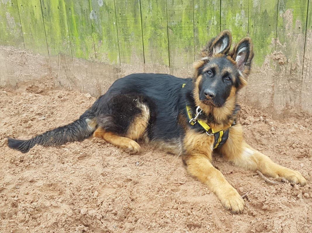Hudson Dog School German Shepherd Dogs Dogs Trust