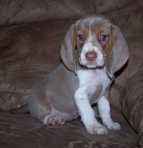 Colors Unique Beagle Colors Khaki Mocha Lilac And Silver Beagle Puppy Beagle Colors Beagle Dog